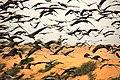 Cranes Khichan India.jpg