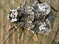 Craniophora ligustri (2944382988).jpg