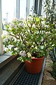 Crassula arborescens subsp. undulatifolia-Jardin botanique de Berlin (1).jpg