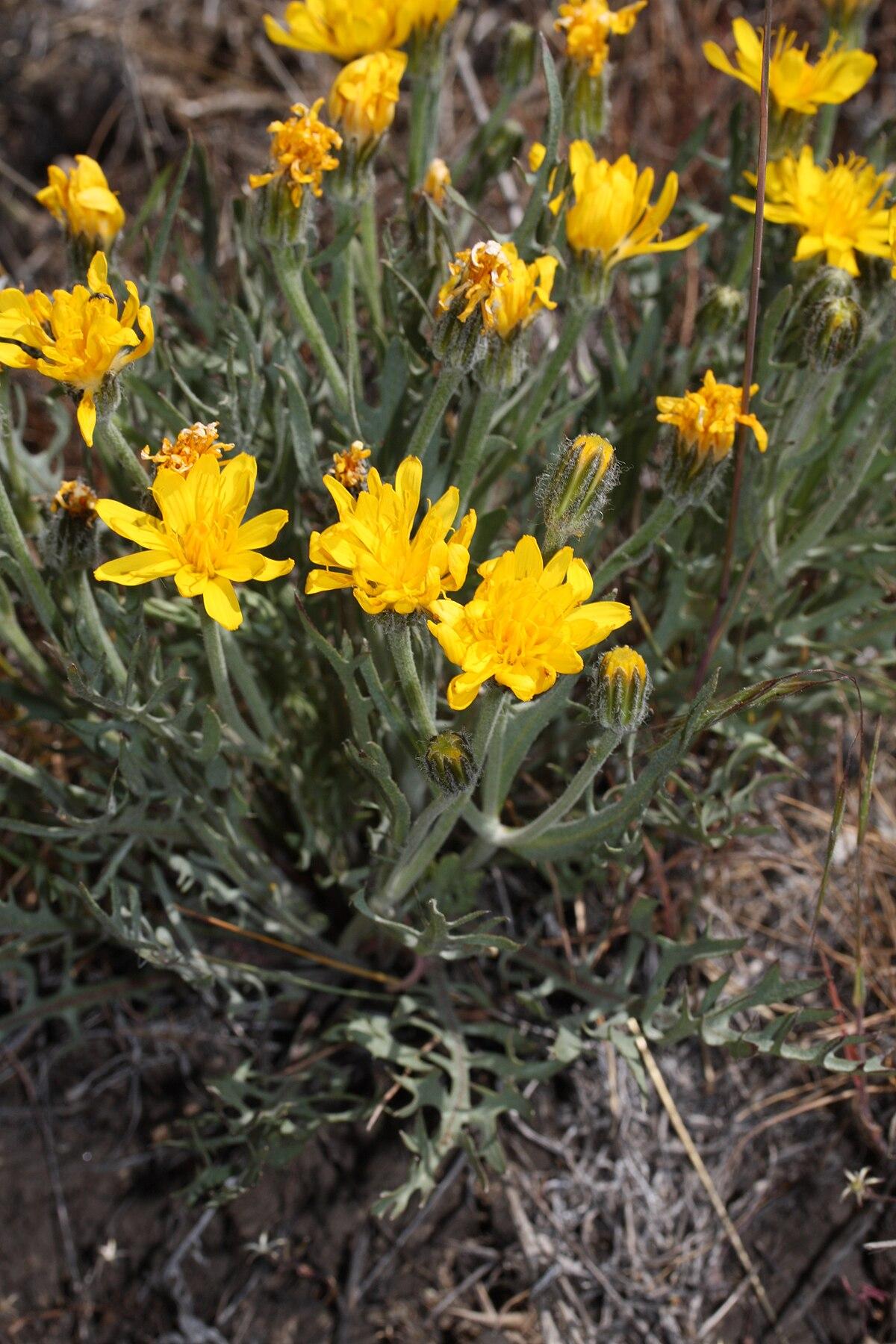 Crepis modocensis - Wikipedia - Crepis