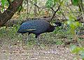 Crested Guineafowls (Guttera edouardi) (11770955456).jpg