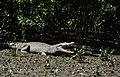 Crocodile Sundarban.jpg