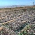 Crocus sativus, Taliouine, Morocco 02.jpg