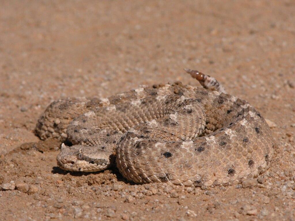 Crotalus cerastes in Mojave