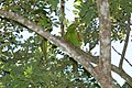 Cuban Parakeet (Aratinga euops) -two in tree.jpg