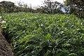 Cultivation of Phoenix Roebelenii in Hachijo Island 03.jpg