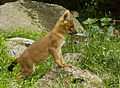 Cuon alpinus alpinus puppy.jpg