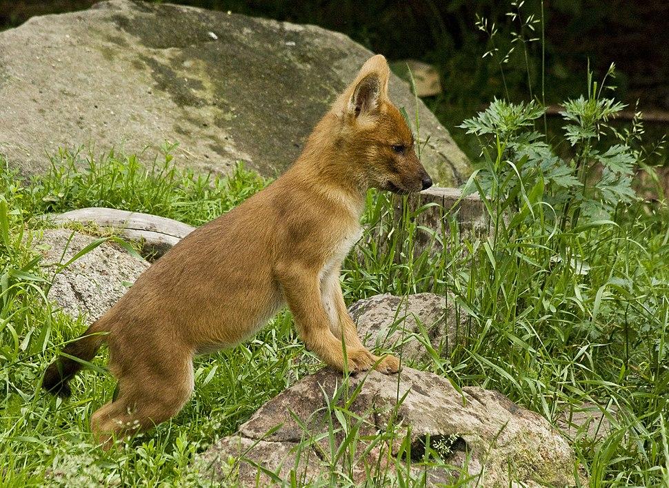 Cuon alpinus alpinus puppy