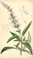Curtis's Botanical Magazine, Plate 4318 (Volume 73, 1847).png
