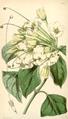 Curtis's Botanical Magazine, Plate 4322 (Volume 73, 1847).png