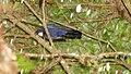 Cyanolyca argentigula.jpg