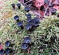 Cyathus striatus (Huds.) Willd 687832.jpg