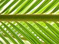 Cycas revoluta (120).JPG
