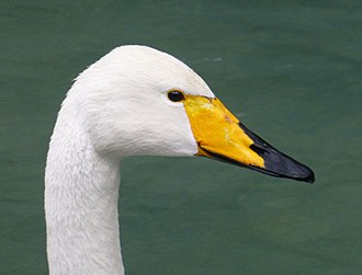 Whooper swan - Head detail