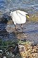 Cygnus olor (Küken) - Arboretum 2011-05-28 18-19-36.JPG