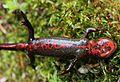 Cynops pyrrhogaster (under s4).jpg