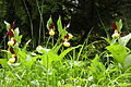 Cypripedium calceolus Burgberg 01.jpg