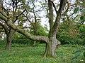 Czeszewo Polska - park ,kasztany przy starym dworze. - panoramio.jpg