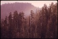 DOUGLAS FIR SNAGS IN OVER MATURE FOREST IN OLYMPIC NATIONAL TIMBERLAND, WASHINGTON. NEAR OLYMPIC NATIONAL PARK - NARA - 555128.tif