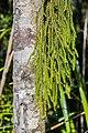 Dacrydium cupressinum near Okarito Lagoon 04.jpg