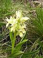 Dactylorhiza sambucina 040531Aw.jpg