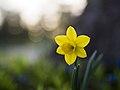 Daffodil-macro (Unsplash).jpg