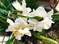 Daffodil 2017.jpg