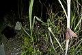 Dahira rubiginosa (31410521105).jpg