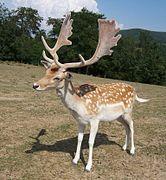Antler - Wikipedia