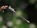 Damselfly - Coenagrionidae - イトトンボ科のどれか (4890060709).jpg