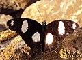 Danaid Eggfly - Hypolimnas misippus 01.JPG
