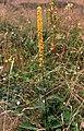 Dark Mullein (Verbascum nigrum), Hightown - geograph.org.uk - 716905.jpg