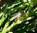 Dasysyrphus albostriatus - Flickr - gailhampshire.jpg