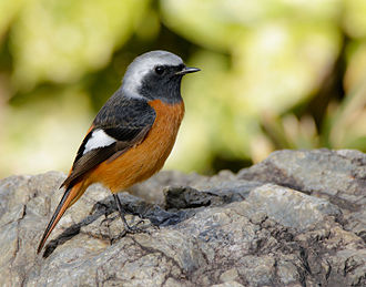 Daurian redstart - Adult male P. auroreus