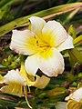 Daylilies Unknown.jpg