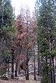 Dead brown trees (5812225075).jpg