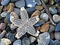 Dead starfish - geograph.org.uk - 749848.jpg