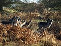 Deer at Brocton - geograph.org.uk - 1106828.jpg