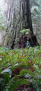 Del Norte Titan, the fourth largest Coast Redwood - Sequoia sempervirens