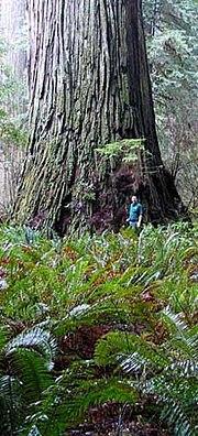 Del Norte Titan, the fourth largest coast redwood.