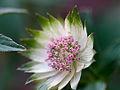 Delicate flower (9027056907).jpg