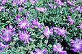 Delosperma cooperi plant.JPG