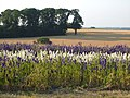 Delphiniums at Woodcote - geograph.org.uk - 205311.jpg
