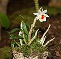 Dendrobium christyanum - Internationale Orchideen- und Tillandsienschau Blumengärten Hirschstetten 2016.jpg