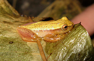 Dendropsophus sanborni - Image: Dendropsophus sanborni