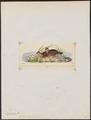 Dendrortyx barbatus - 1820-1863 - Print - Iconographia Zoologica - Special Collections University of Amsterdam - UBA01 IZ17100211.tif