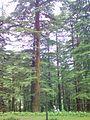 Deodar cedar tree himachal pradesh , india.jpg