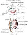 Desarrollo del ovario.png