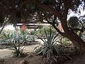 Desert Botanical Garden Phoenix Arizona 44.JPG