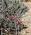 Desert Broom (Cadaba aphylla) (32213045440).jpg